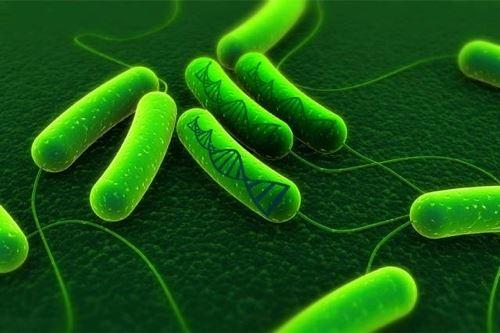 Probiotics: what Lactobacillus gasseri will change for your intestinal flora