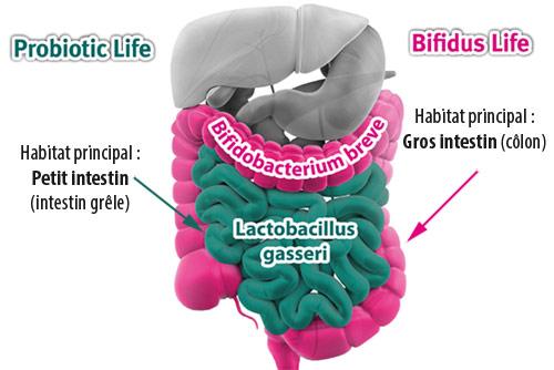 probiotiques, probiotics, Lactobacillus gasseri, L.Gasseri, Qu'est-ce que la flore intestinale (définition), Les probiotiques c'est quoi, Comment choisir ses probiotiques, Les probiotiques pour maigrir